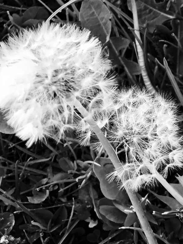 Dandelion wishes and monochromatic dreams thumbnail