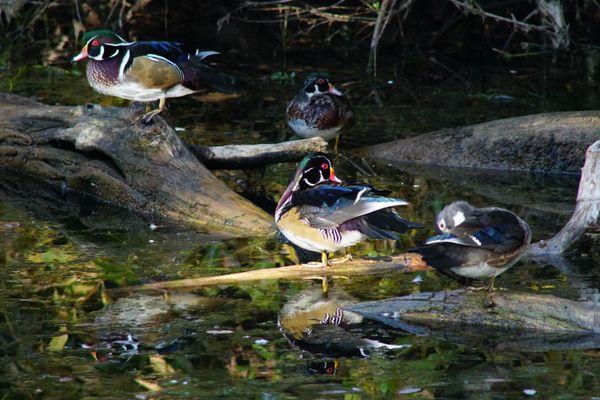 Wood Duck Gallery thumbnail