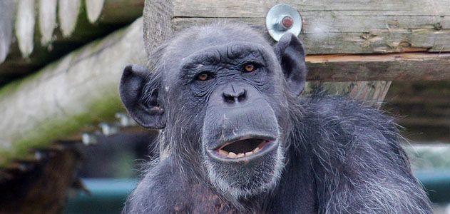 Chimp-memory-631.jpg