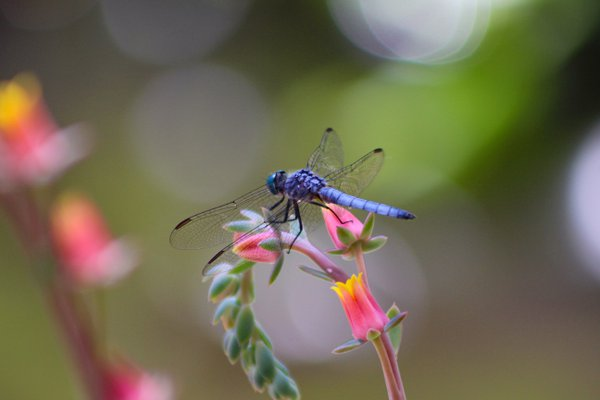 Blue dragonfly on succulent bloom thumbnail
