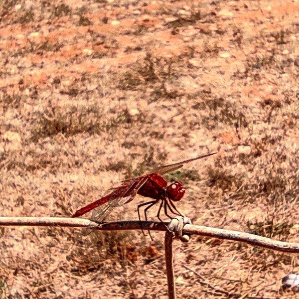 Red dragonfly above metal fence. thumbnail