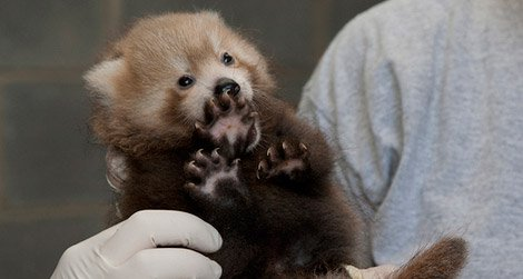 The adorable red panda cub