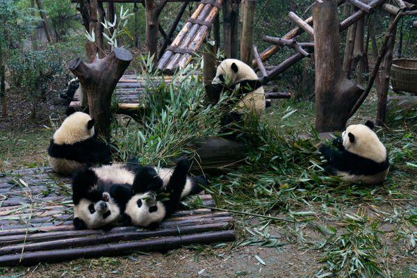 Young pandas thumbnail