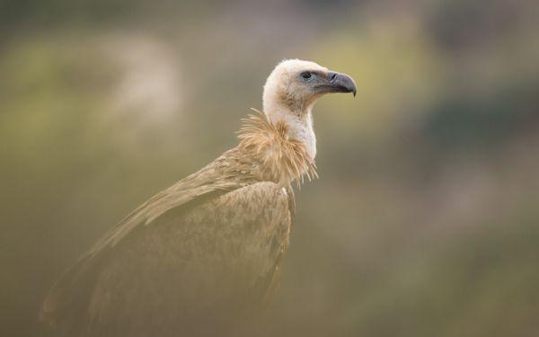 Griffon Vulture thumbnail