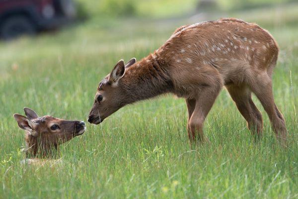 Twin Elk Calves thumbnail