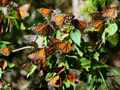 Some eastern monarch butterflies travel about 3,000 miles to reach their overwintering sites in Mexico.