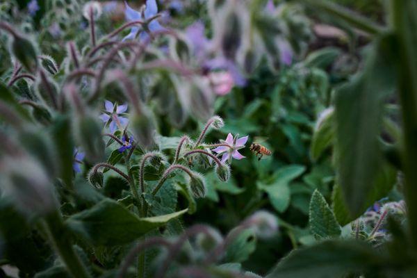 A honey bee enjoys the borage thumbnail