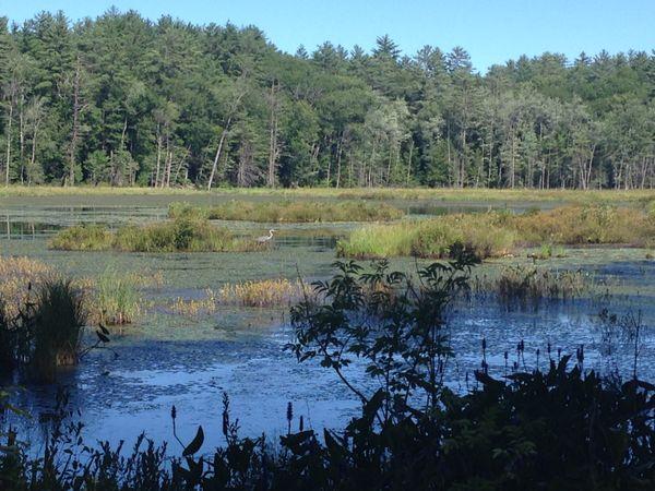 Heron in Quincy Bog, Romney, NH thumbnail