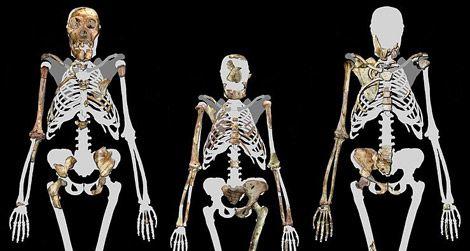 Skeletons of Australopithecus sediba