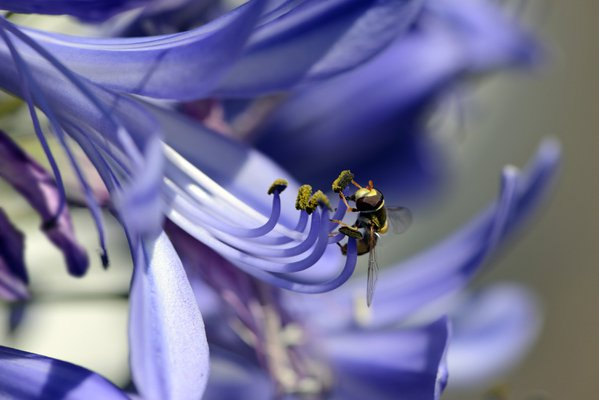 Hover Fly in Agapanthus thumbnail