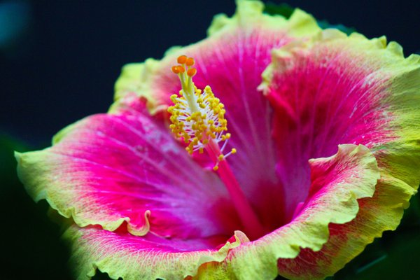 Hidden Hibiscus at the Como Zoo thumbnail
