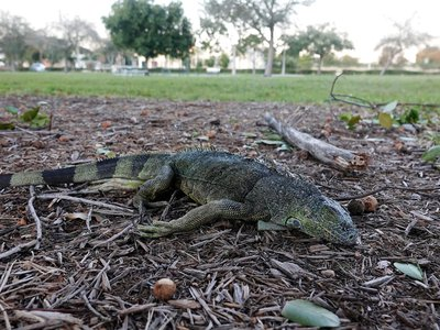 A stunned iguana lying on the ground during a cold snap in Florida on January 22, 2020. When temperatures dropped into the 30s and 40s, some of these cold blooded lizards lost their grip and fell from their nighttime perches up in the trees.