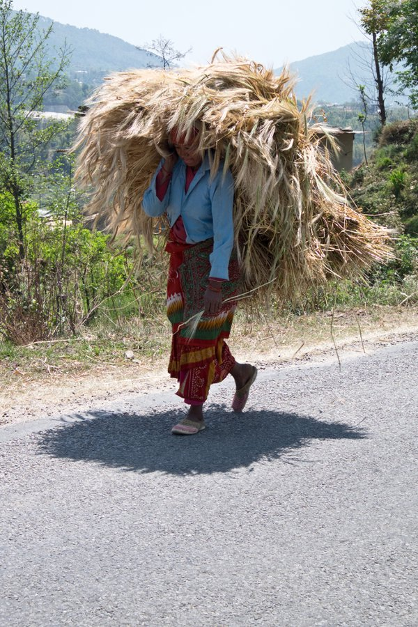 Woman carrying a load of wheat thumbnail