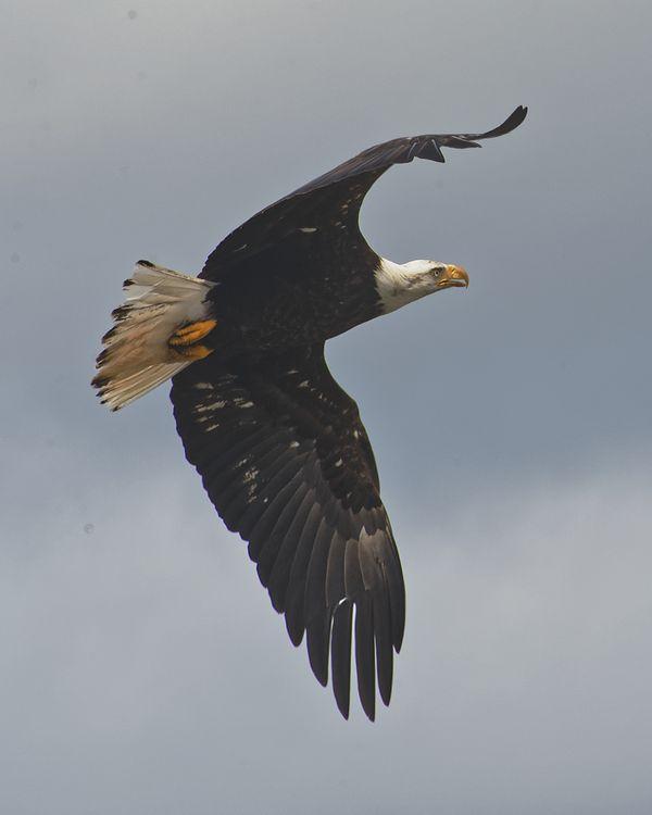 Big Beef Creek:  Spread Eagle Bird in Flight thumbnail
