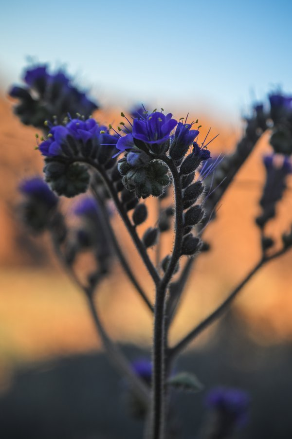 Nevada Wildflower thumbnail