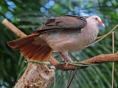 Roughly 70 pink pigeons exist in captivity around the world, including this one at the San Diego Zoo.