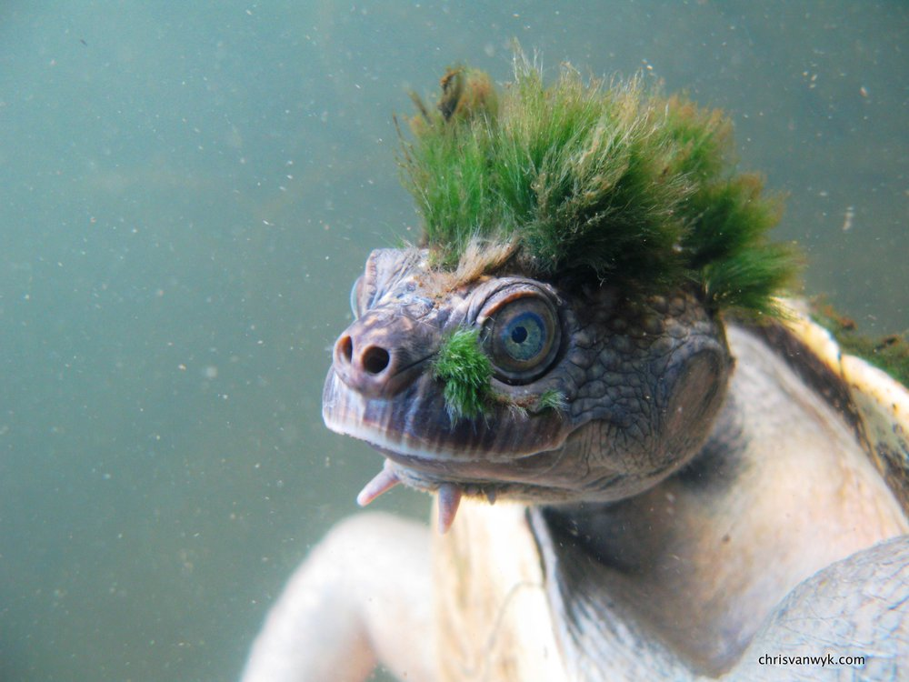 Mary river turtle - rank 30 - Elusor macrurus - Chris Van Wyk_3.jpg