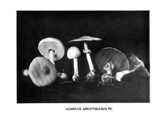Charles McIlvaine, Pioneer of American Mycophagy