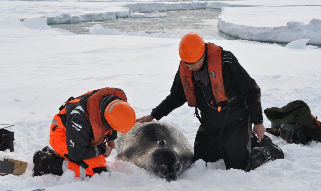 How Data-Gathering Seals Help Scientists Measure the Melting Antarctic