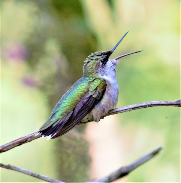 Hummingbird speak thumbnail