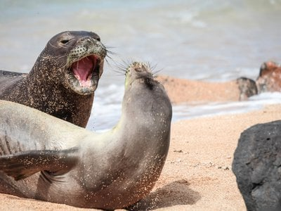 Researchers fear that these normal monk seal encounters could soon grow deadly.