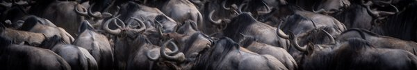 A crowd of Wildebeest,  in Tanzania. thumbnail