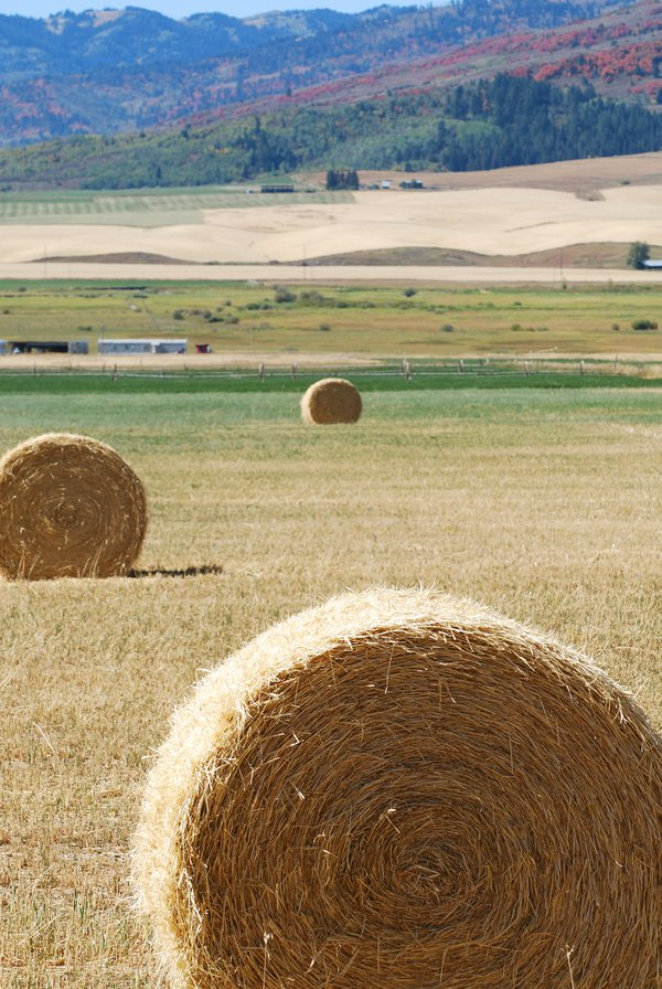 Round hay bales in fields. thumbnail