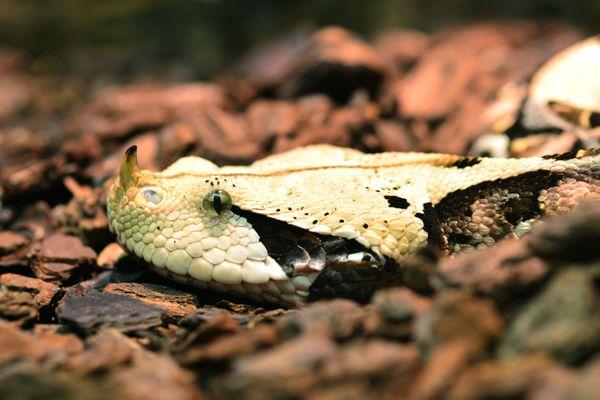 The venomous gaboon viper in Vienna Aqua Terra zoo thumbnail
