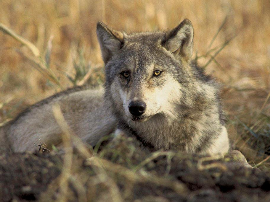 A gray wolf sits in tall grass looking toward the camera