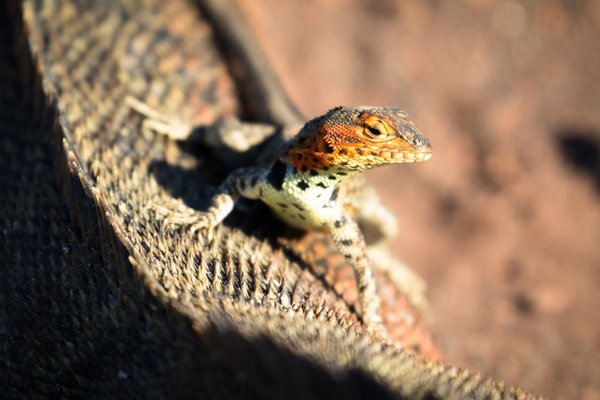 Lava lizard on marine iguana thumbnail