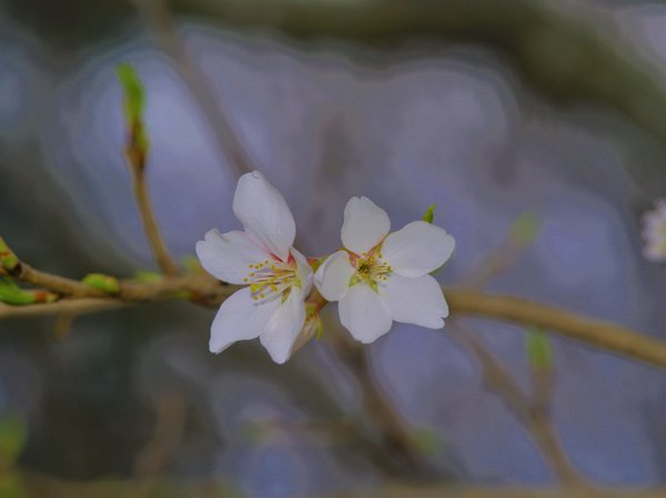 native cherry bloom thumbnail