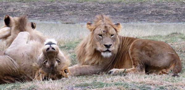 Two Old Brother Lions thumbnail