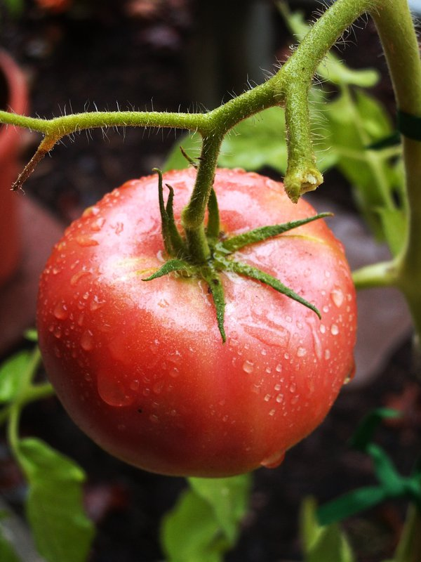 A Ponderosa tomato basks in the sun of an apartment patio after a summer shower. thumbnail