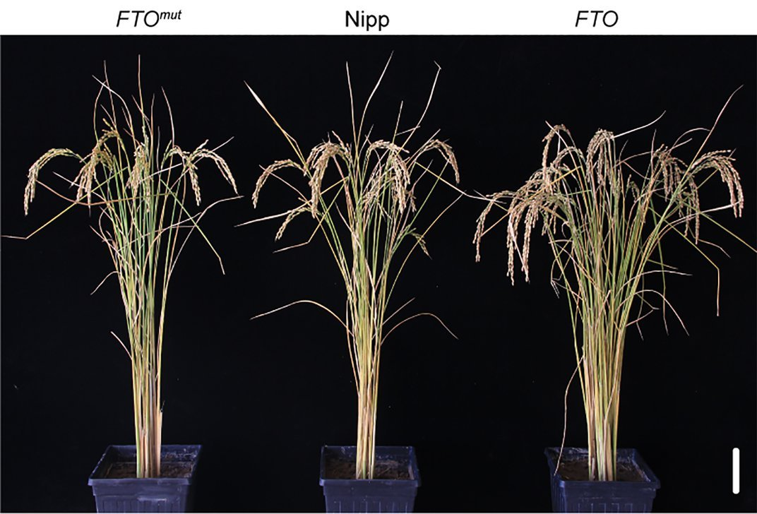 Researchers Transfer a Human Protein Into Plants to Supersize Them