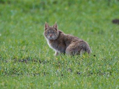 A Chinese mountain cat photographed in a field of grass.