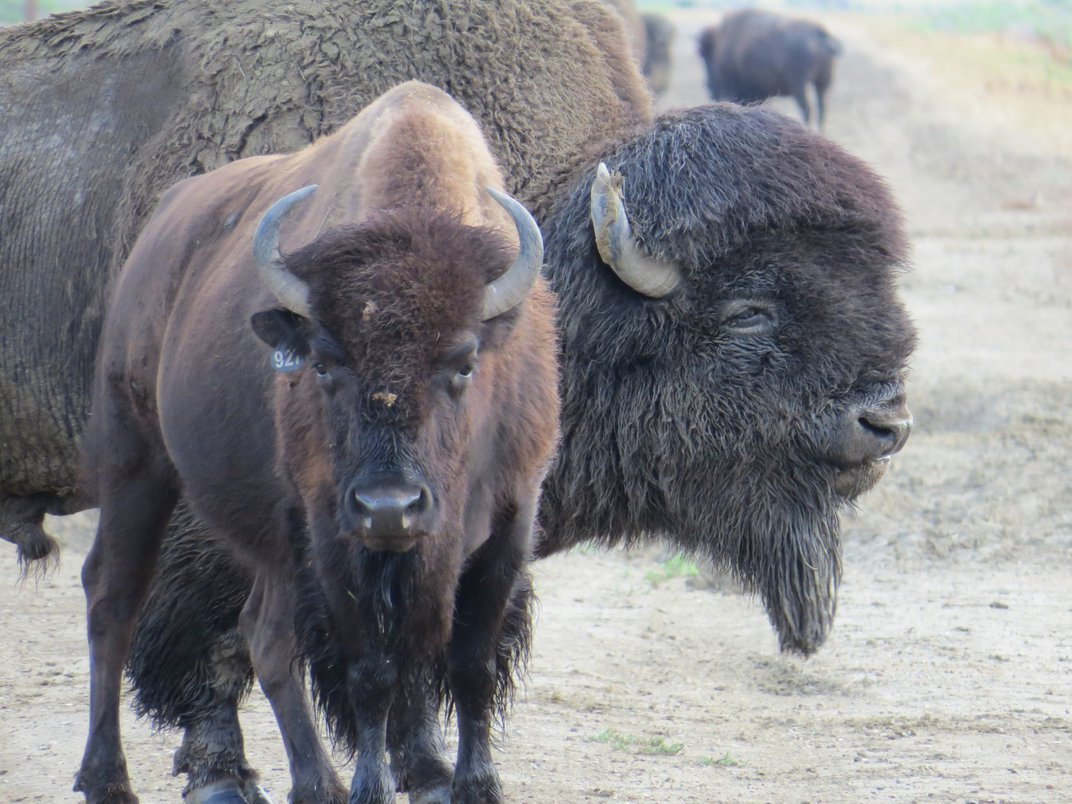 A male bison stands close behind a female, guarding her from potential competitors during rut.