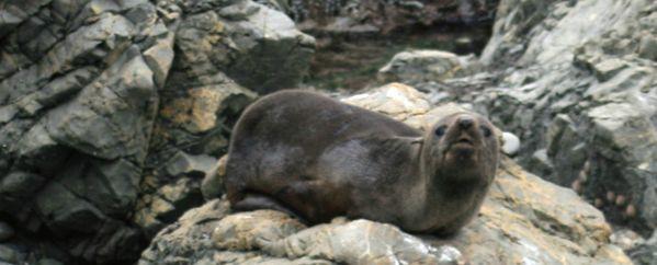 Snoozy Seal thumbnail