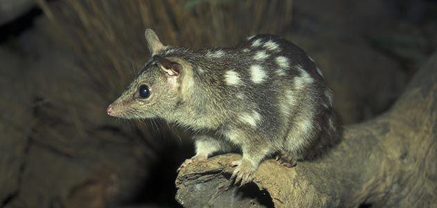 Northern quolls, cat-size Australian marsupials