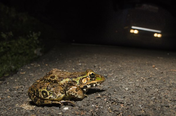 An Indian Bullfrog trying to cross a road in Amboli, Maharashtra, India thumbnail