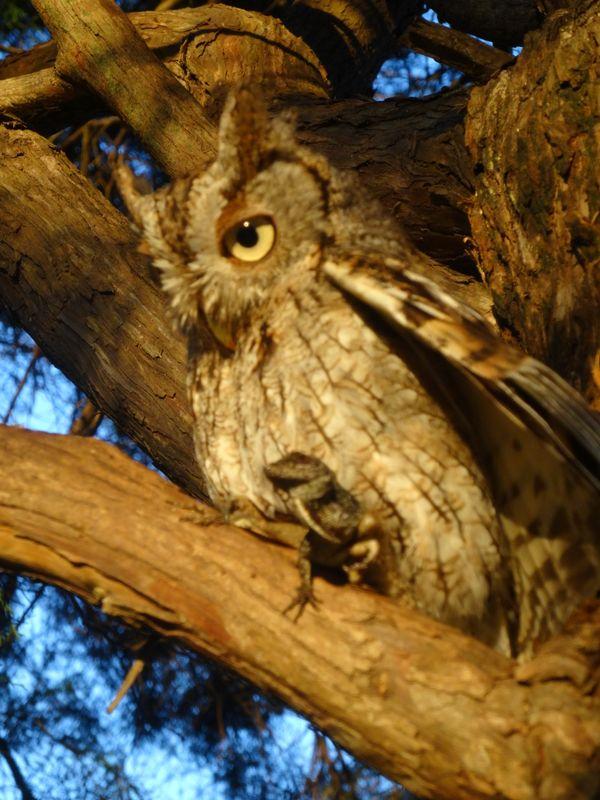 Owl and Lizard thumbnail