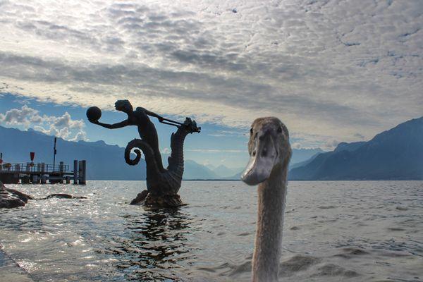 Curious young swan thumbnail
