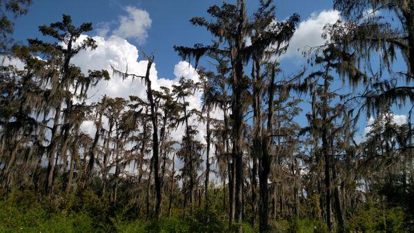Jean Lafitte Cypress Swamp thumbnail