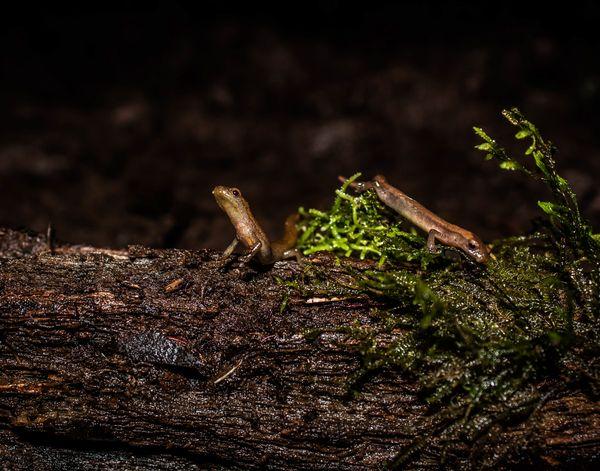 Salamanders. Bolitoglossa chinanteca thumbnail