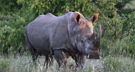 A white rhino in Kruger National Park, South Africa