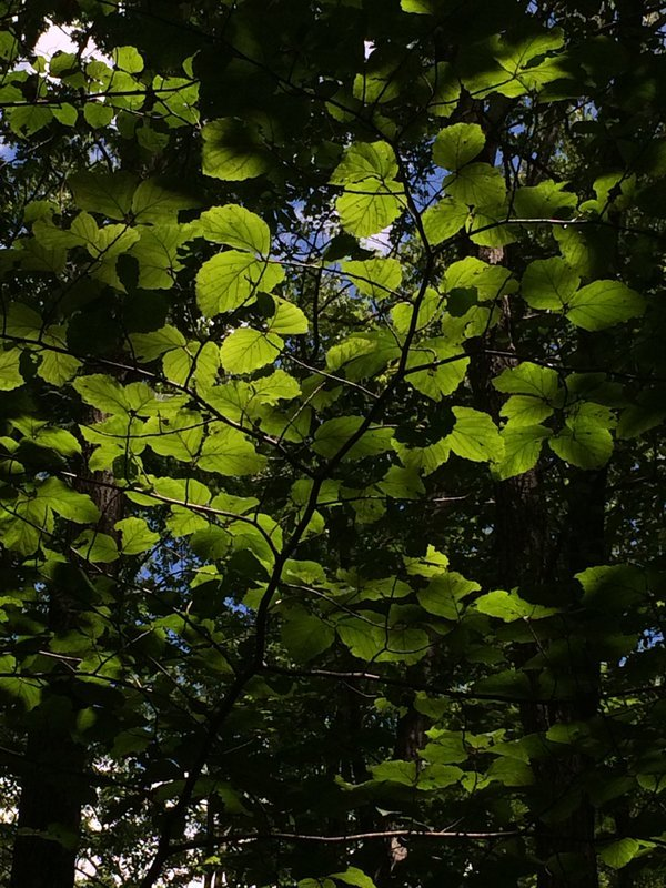 Sunlight caught through a canopy of leaves thumbnail