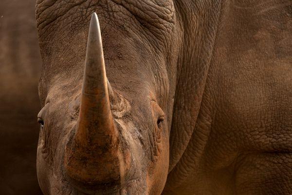 White Rhinoceros in Kruger National Park thumbnail