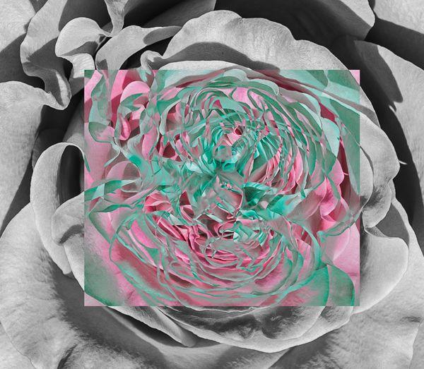 roses thumbnail