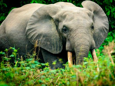 An African forest elephant makes its way out into the open.