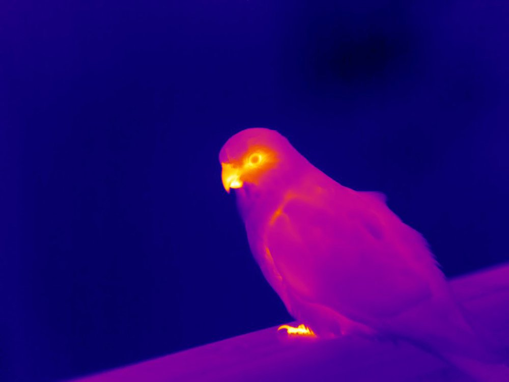 Thermal Photo of Parrot