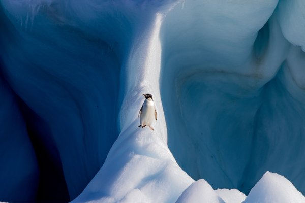 Adélie Penguin on an Iceberg thumbnail